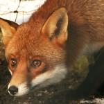 fox caught
